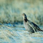 Prairie Grouse and Huns 2018 Traveling Wingshooter