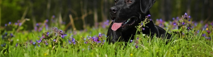 Allergies: Get Your Dog Off the Steroids - Retriever Journal